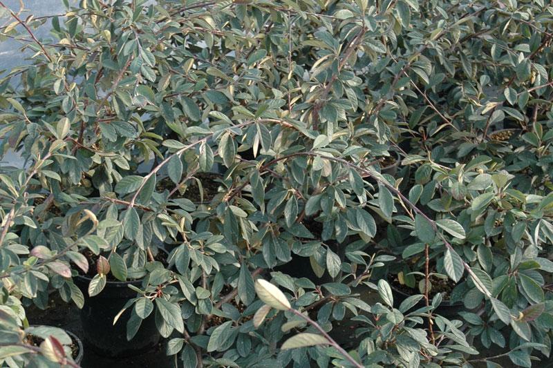 Azienda agricola florovivaistica la scariona for Piante tappezzanti