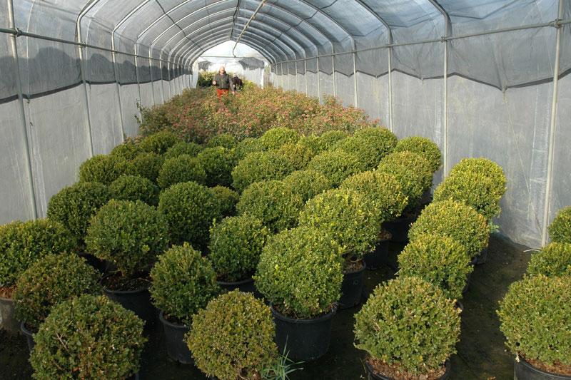 Azienda agricola florovivaistica la scariona for Piante da siepe sempreverdi